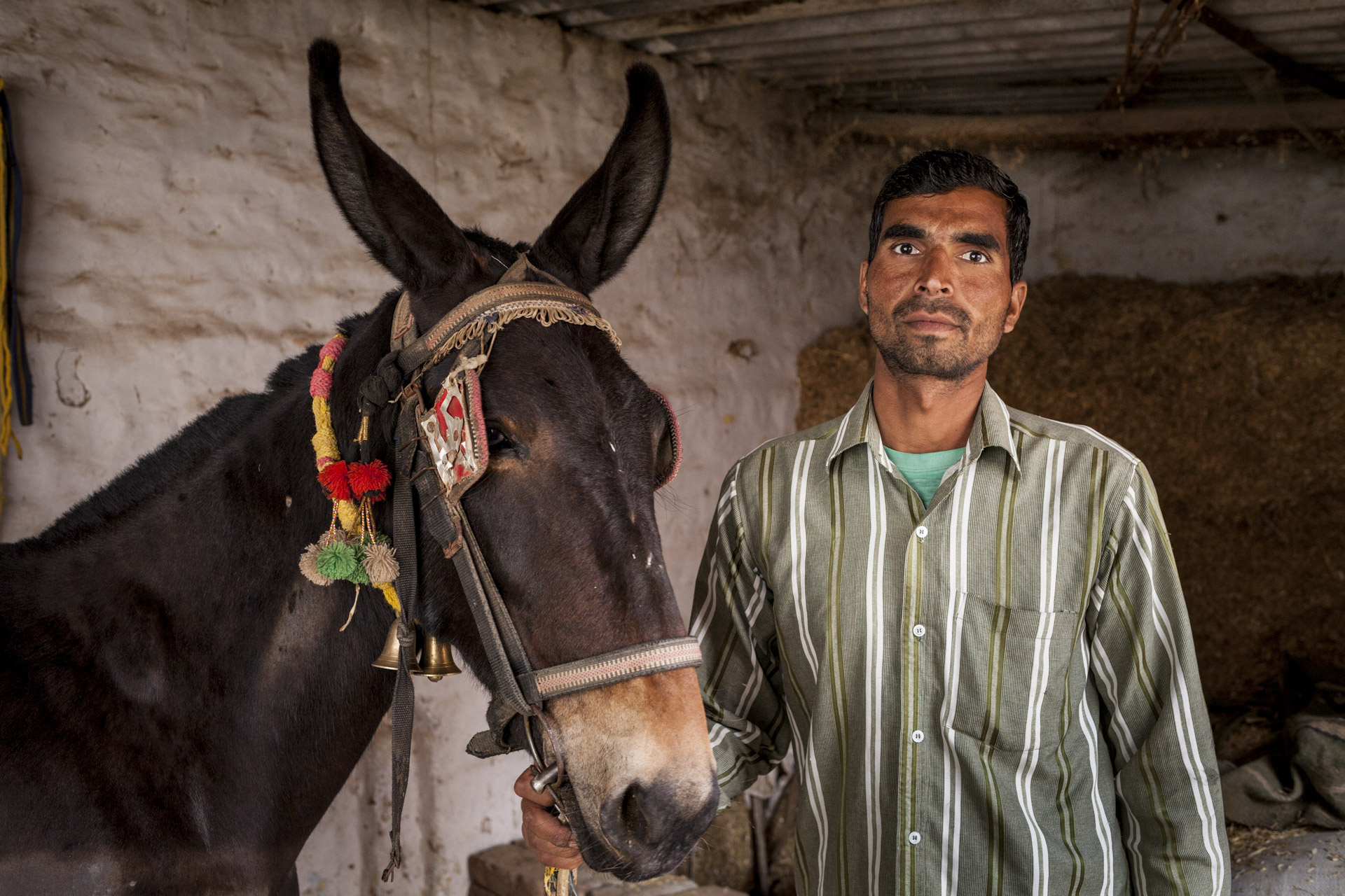 Khesikala village 1 km from Faridabad KSN brick kiln near Delhi, India. The mule owners who work at the kiln are settled here in the village. The mules enjoy good stables and food here.Vedpal (30) with his 2 year old mule at his stable in the village.Modern India is built on the backs of donkeys and mules. © Crispin Hughes