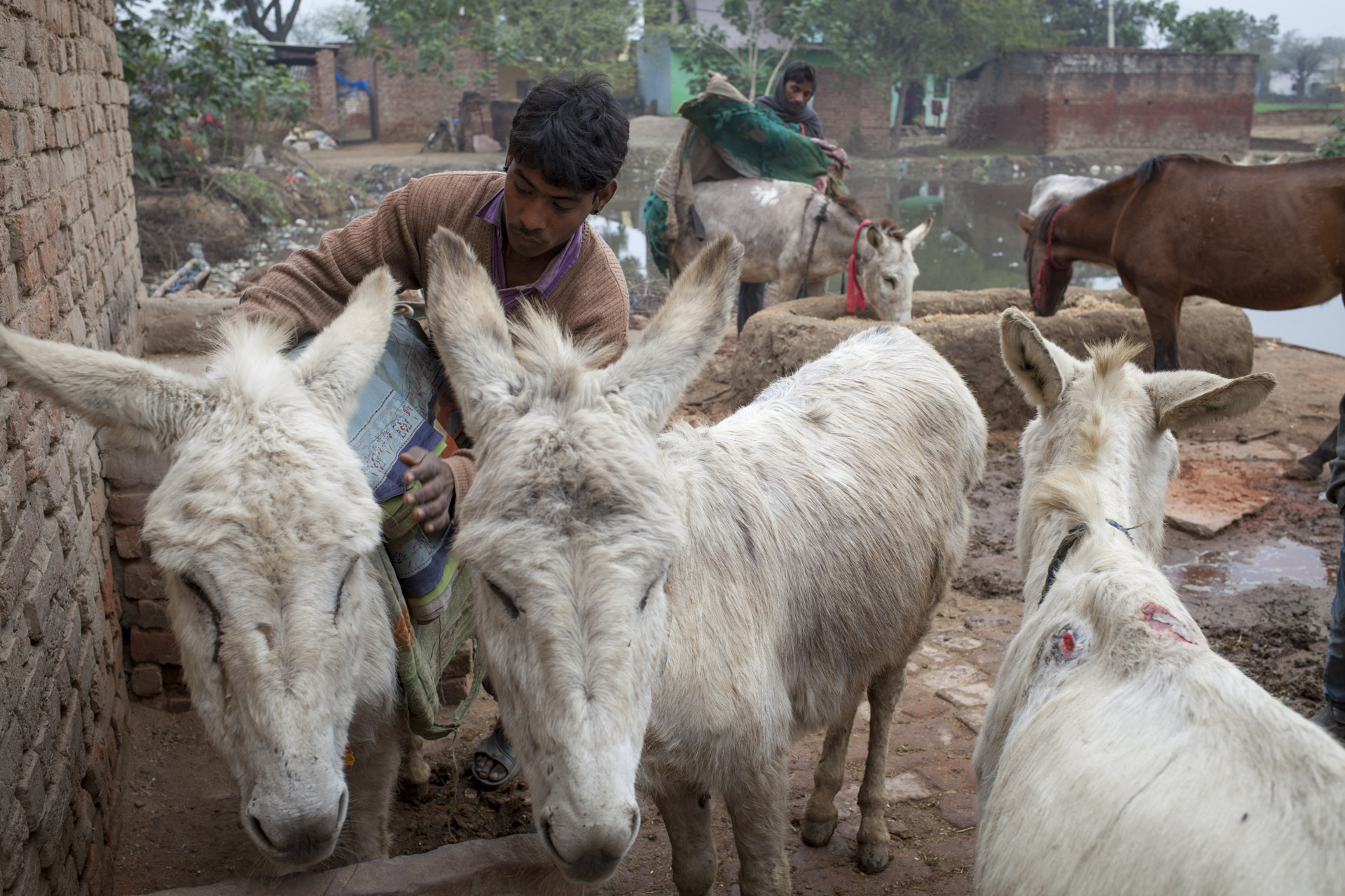 Madhupur Village near Agra, Uttar Pradesh, India. Harish (19) owns five donkeys and works at the VIP brick kiln about ten kilometres from Madhupur village.