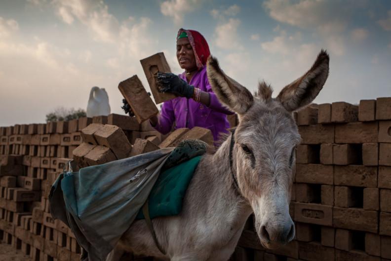 M.A Ambabur Kiln, Ahmedabad.Dagaji loading the donkeys with unfired bricks.Modern India is built on the backs of donkeys.