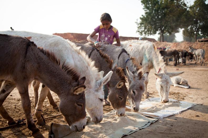 M.A Ambabur Kiln, Ahmedabad.Donkeys being fed and watered at the end of their shift at the kiln. Grooming and checking donkeys at the end of their shift at the kiln.Modern India is built on the backs of donkeys.