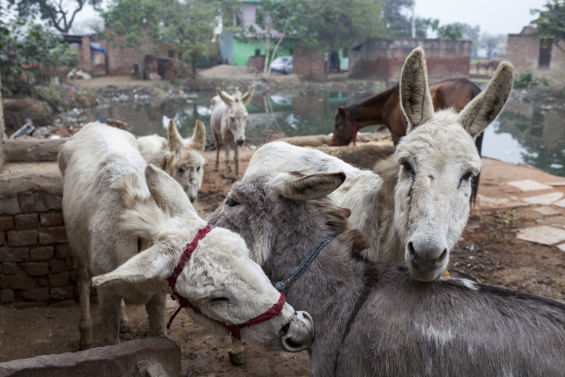 Madhupur Village near Agra, Uttar Pradesh, India. Harish's donkeys groom each other. Harish's family. Harish (19) owns five donkeys and works at the VIP brick kiln about ten kilometres from Madhupur village. During the brick-making season from Nov to June he lives at the kiln with the donkeys. He is home at the moment because the rain has stopped production.