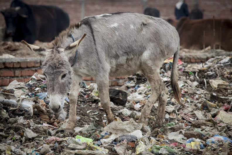 Donkeys graze on plastic and excrement