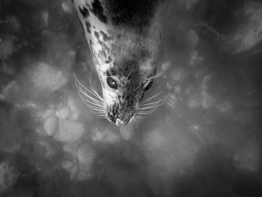 Juvenile female Grey seal 'Brolley', South Devon, UK